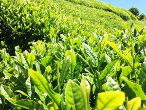 抹茶は日本のココロです。