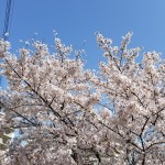 桜20180331_095218