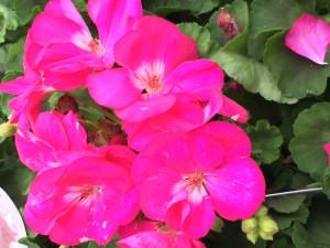 花ピンク5