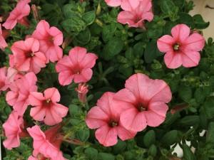 花うすい赤