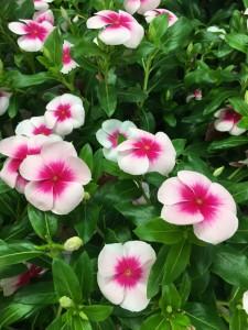 花中央ピンク