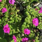 花濃いピンク2
