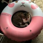浮き輪ネコ