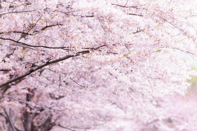 イベントに気になる人を誘うなら桜まつり!