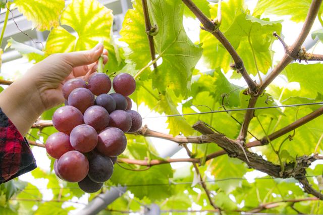 9月は果物狩りイベントを楽しもう!