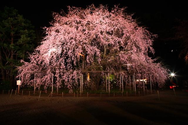 九州・沖縄の花見は早い!今楽しめる桜の名所