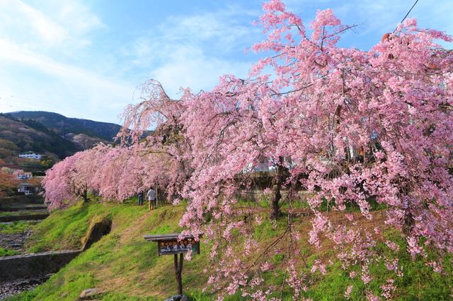 春を見つけに桜まつりに出掛けよう